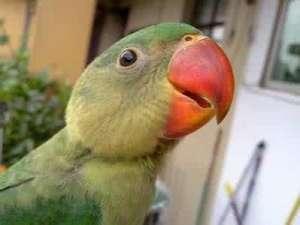 亚历山大鹦鹉